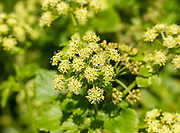 Macro close up of flowers of Alexanders plant, Smyrnium olusatrum, UK