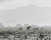 Livestock on farm land near Jacmel, Haiti