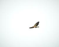 Swainson's Hawk (Buteo swainsoni. Arapaho National Wildlife Refuge. Image taken with a Nikon D3  camera and 70-200 mm f/2.8 VR lens + 1.7x TC-E II teleconverter.
