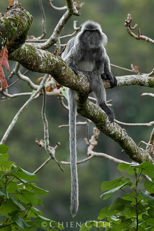 Silvered Leaf Monkey (Trachypithecus cristatus). Sarawak, Malaysia (Borneo).