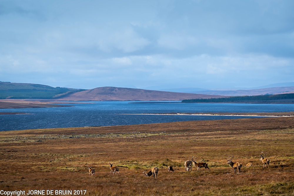 A herd of REd Deer in a remote Glen in Sutherland, Scotland.