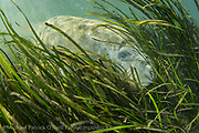 Endangered Florida Manatee, Trichechus manatus, feeds on eel grass <br />