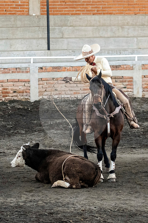 Luis Alfonso Franco, Sr. tries to get a steer to stand after team roping at the family Charreria practice session in the Jalisco Highlands town of Capilla de Guadalupe, Mexico. The Franco family has dominated Mexican rodeo for 40-years and has won three national championships, five second places and five third places.