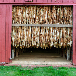 Silver Springs, PA USA - October 24, 2014: Large tobacco leaves hang in abarn drying.