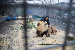 """Big Cats Trainer and Presenter Alexander Lacey spends time with his lion Masai between performances.<br /> Ringling Bros. and Barnum & Bailey Circus started in 1919 when the circus created by James Anthony Bailey and P. T. Barnum merged with the Ringling Brothers Circus. Currently, the circus maintains two circus train-based shows, the Blue Tour and the Red Tour, as well as the truck-based Gold Tour. Each train is a mile long with roughly 60 cars: 40 passenger cars and 20 freight. Each train presents a different """"edition"""" of the show, using a numbering scheme that dates back to circus origins in 1871 — the first year of P.T. Barnum's show."""