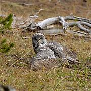 Great Gray Owl(Strix nebulosa) Yellowstone National Park.