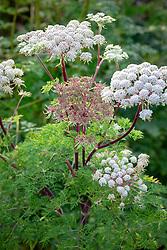 Selinum wallichianum AGM syn. Selinum wallichianum subsp. tenifolium - Wallich milk parsley