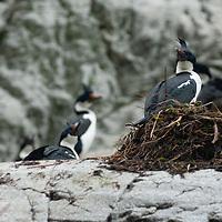Blue-eyed Shags nest above Seno Chico (Small Fjord) in Alberto de Agostini National Park, Tierra del Fuego, Chile.