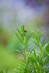 Rosemary beetle - Chrysolina americana - on Rosmarinus officinalis syn. Salvia rosmarinus - Rosemary