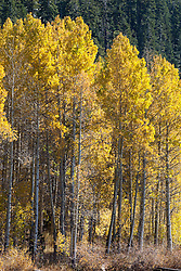 """""""Aspens at Marlette Lake 2"""" - These aspens were photographed in the fall at Marlette Lake, Nevada."""