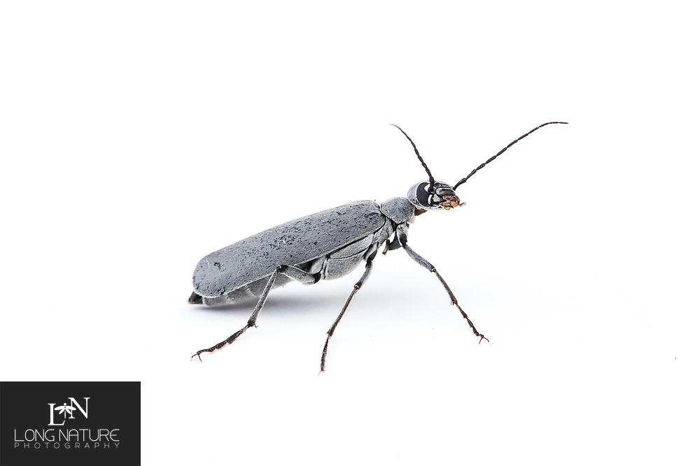 Epicauta - blister beetle