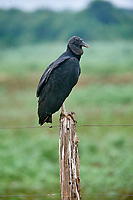 Black Vulture (Coragyps atratus) perched on a fence,  The Pantanal, Mato Grosso, Brazil