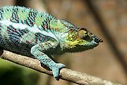 Madagascar, Parson's chameleon (Calumma parsonii)