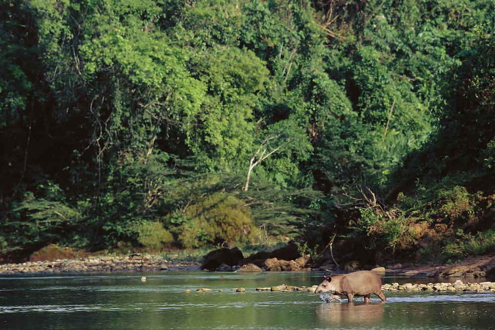 Brazilian Tapir<br />Tapirus terrestris<br />Lower Urubamba River.  PERU.  South America