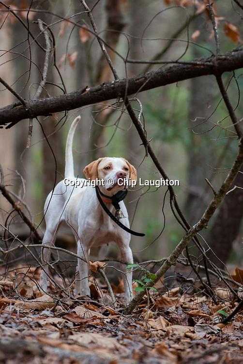 upland, bird, hunting, stock, photo, image, photography,