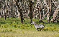 A Grant's Zebra, Equus quagga boehmi, runs in Lake Nakuru National Park, Kenya