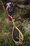 Khasi woman<br /> Special bamboo basket with long handles used for removing hairs from caterpillars to render them ready for eating<br /> Meghalaya,  ne India