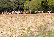 Herd of fallow deer, dama dama, running across field Shottisham, Suffolk, England, UK
