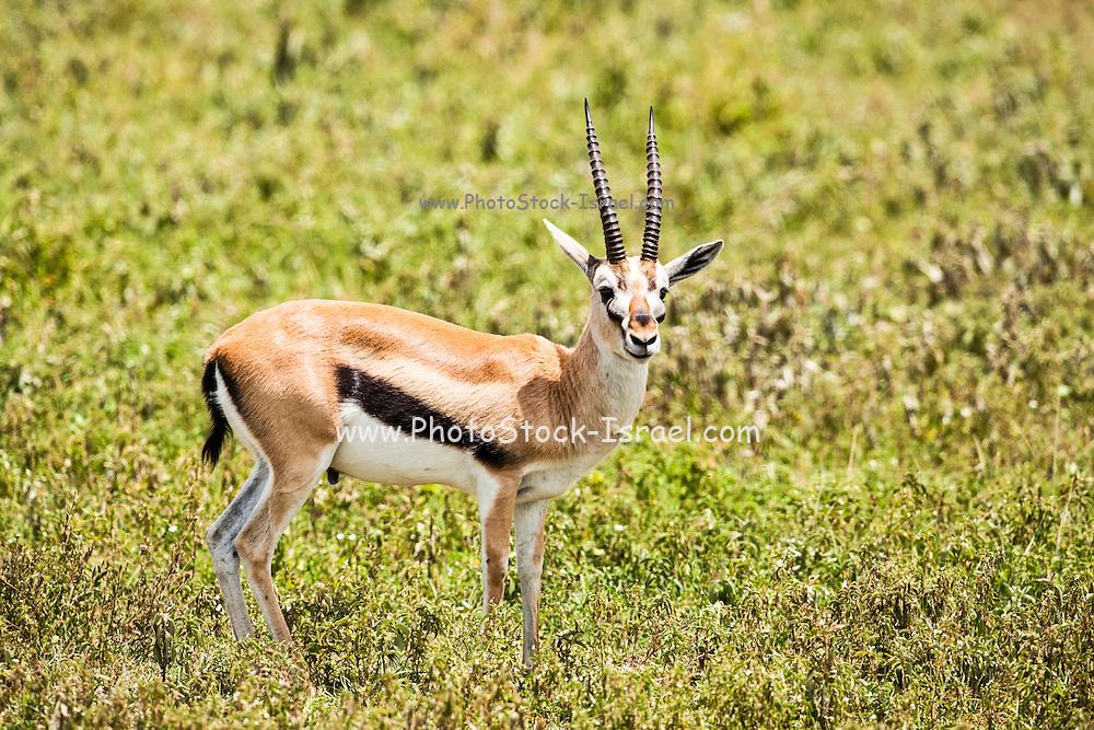 Thomson's gazelle (Eudorcas thomsonii) Photographed in Tanzania