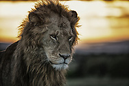 The African sunrise in the Maasai Mara lights Mufasa on fire and matches his fiery attitude.