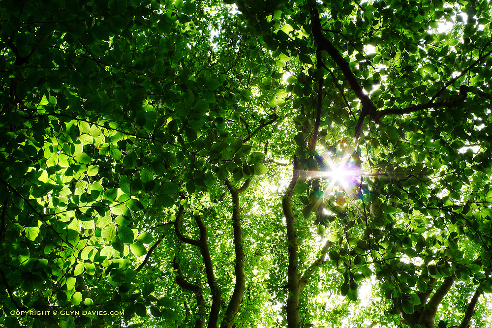Morning sunlight through a lush green leaf canopy of woodland trees alongside the Menai Strait on Anglesey, Wales.
