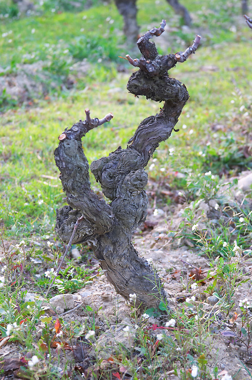 Chateau Pech-Latt. Near Ribaute. Les Corbieres. Languedoc. Vines trained in Gobelet pruning. Terroir soil. France. Europe. Vineyard.