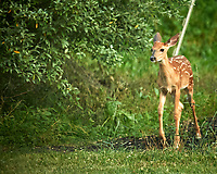 Fawn with spots. Image taken with a Nikon D5 camera and 600 mm f/4 VR lens