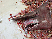 That's no shrimp! Florida shrimp fishermen accidentally net the second ever 'prehistoric' goblin shark that's 18-FEET-LONG, pink, and pointy teeth<br /> <br /> Shrimpers fishing in the Gulf of Mexico accidentally netted a prehistoric looking goblin shark that is the rarest of all sharks ever to be seen by human eyes.<br /> The goblin shark nabbed off Key West, Florida which was 18-feet-long, pink, and has a long snout to conceal it pointy teeth from prey is the second ever of its kind to be seen in the Gulf.<br /> The goblin shark is known to live in the deep waters of Japan and a Gulf sighting is so rare that its the first in over 10 years.<br /> <br /> SF Gate reports that the goblin sighting 10-years-ago was so exciting for researchers that a scientific paper was written.<br /> The crew of fisherman who made the latest catch had a net 2,000 feet under water and were shocked to find a massive pink shark among the shrimp they catch on a daily basis. <br /> The prehistoric looking creature sometimes called the 'living fossil' thrashed on the deck and had teeth so sharp that the fishermen were too afraid to pull out the tape measure and hold it up to the mysterious creature.<br /> 'I didn't even know what it was,' said fisherman Carl Moore to SF Gate.<br /> 'I didn't get the tape measure out because that thing's got some wicked teeth, they could do some damage.'<br /> <br /> Instead of keeping the shark to do research, Moore decided to snap a quick photo of the fish with his cell phone then release it back into the water.<br /> Moore showed a photo of the shark to his grandson who was thrilled with the discovery.<br /> 'My 3-year-old grandson, he just loves sharks so I've been taking pictures of every one we find, when I showed him this one he said, 'Wow, Pappa!' Moore said.<br /> The shark was netted on April 19th but it wasn't until yesterday that Moore reported his catch to the National Oceanic and Atmospheric Administration.<br /> Based on photographs researchers