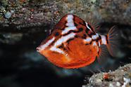 Anoplocapros lenticularis (Humpback Boxfish)