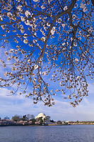 Cherry Blossoms, Cherry Tree Walk, Tidal Basin (with Jefferson Memorial in background), Washington D.C., U.S.A.