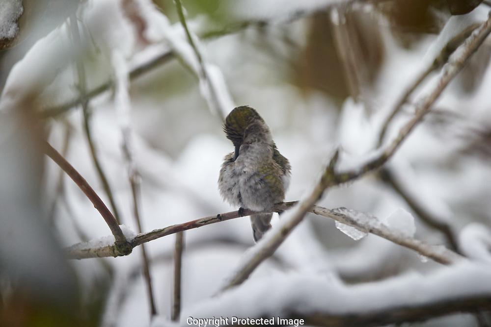 Hummingbird in the snow, Saturday, Feb. 9, 2019. (Photo: John Froschauer)