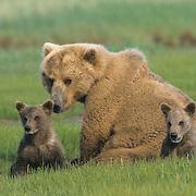 Alaskan Brown Bear (Ursus middendorffi) mother with two cubs in the grass during spring. Katmai National Park, Alaska