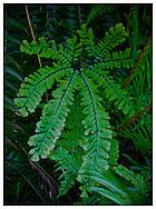 Maidenhair Fern (Adiantum pedatum) frond