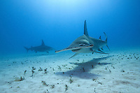 Great Hammerheads approaching<br /> <br /> Shot in Bahamas