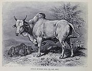 Indian Humped Bull or zebu (Bos taurus indicus), sometimes known as indicine cattle or humped cattle, is a species or subspecies of domestic cattle originating in the Indian sub-continent.[1] Zebu are characterised by a fatty hump on their shoulders, a large dewlap, and sometimes drooping ears. They are well adapted to withstanding high temperatures, and are farmed throughout the tropical countries, both as pure zebu and as hybrids with taurine cattle, the other main type of domestic cattle. Zebu are used as draught and riding animals, dairy cattle, and beef cattle, as well as for byproducts such as hides and dung for fuel and manure. In 1999, researchers at Texas A&M University successfully cloned a zebu. From the book ' Royal Natural History ' Volume 2 Edited by Richard Lydekker, Published in London by Frederick Warne & Co in 1893-1894