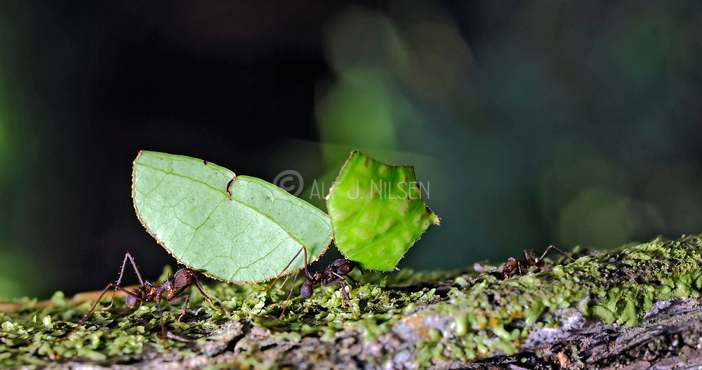 Leafcutter ants (Atta sp.) from the rainforest at laSelva, Ecuador.