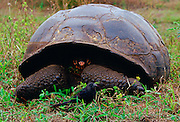 A giant tortoise feeding on leaves and a bird on the Galapagos Islands