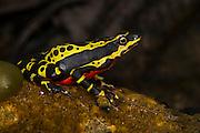 Lemon Harlequin Frog (Atelopus sp. spumarius complex)<br /> CAPTIVE<br /> Amazon region of SE<br /> ECUADOR. South America<br /> RANGE: Ecuador<br /> Amazon Basin<br /> Critically endangered<br /> New undescribed species