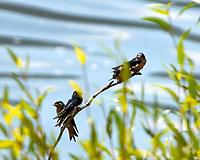 Barn Swallow (Hirundo rustica). Arapaho National Wildlife Refuge, Colorado. Image taken with a Nikon D2xs camera and 80-400 mm VR lens.