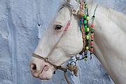 White Marwari horse in a breeders yard at  Phalodi, Rajasthan, India.