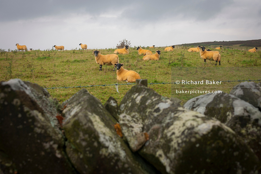 Orange-stained fleeces of Northumbrian black-faced sheep, over a dry-stone wall and grazing on moorland, on 25th September 2017, in Rothbury, Northumberland, England.