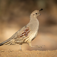 Callipepla gambelii, female, <br /> SE Arizona, April 2021