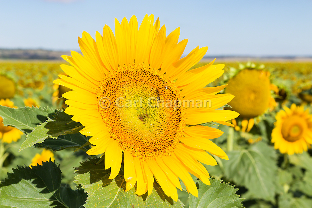 Flowering sunflower in field in morning sun near Ryeford, Queensland, Australia <br /> <br /> Editions:- Open Edition Print / Stock Image