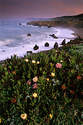 Iceplant flowering at sunrise at Schoolhouse Beach, Sonoma Coast State Beach.