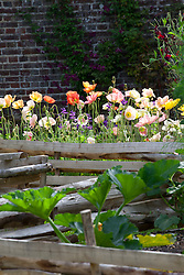 Poppies in the vegetable patch. Papaver rhoeas 'Meadow Pastels'