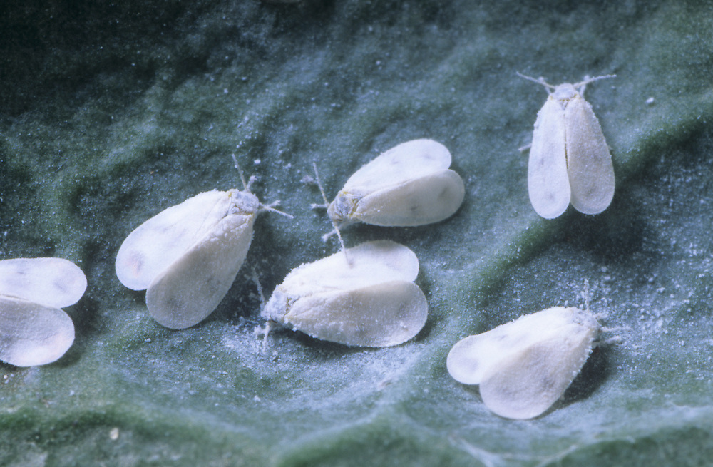 Cabbage Whiteflies - Aleyrodes proletella