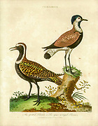 Charadrius is a genus of plovers, a group of wading birds. Handcolored copperplate engraving From the Encyclopaedia Londinensis or, Universal dictionary of arts, sciences, and literature; Volume IV;  Edited by Wilkes, John. Published in London in 1810