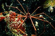 UNDERWATER MARINE LIFE CARIBBEAN, generic CRABS; Arrow Crab Stenorphynchus seticornis