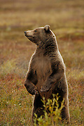 Grizzly Bear (interior Alaska), Ursus arctos; yearling cub, autumn, standing, closeup, alpine tundra, hibernates in winter, Denali National Park, Alaska, ©Craig Brandt, all rights reserved; brandt@mtaonline.net