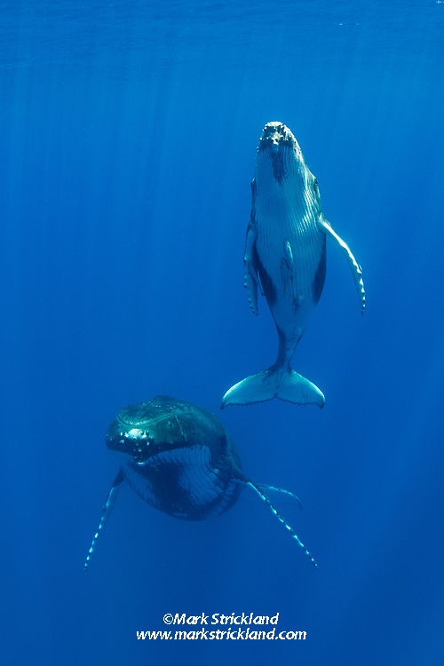 A Humpback Whale calf ascends to breathe as its mother hovers in mid-water. Moorea, French Polynesia, Pacific Ocean